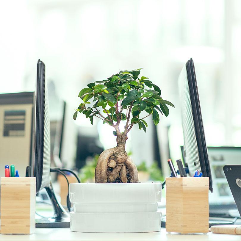Bonsai de la oficina de Ivory Soluciones
